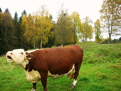 Autumn in Norway - Cattles #1
