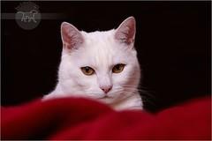 Lady in red (Sunny) (Pfotenblitzer) Tags: red cats white rot studio snuggle amber mix eyes chat sony siamese indoor fluff decke gato blanket cuddle shorthair british katze augen lint siam weiss gatto nestle bernstein britisch kurzhaar kuscheln weis huggle fluse bestofcats alpha700 boc1008