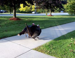 Turkeys_100608