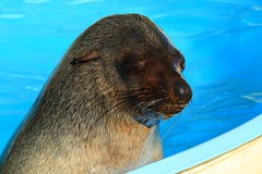 Seal (hazzzad) Tags: harbour coffs