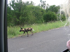 Wild Dog 4 (John D McKenna) Tags: elephant bird southafrica crane lion rhino giraffe wildebeest kruger sodwana barbet kurisamoya