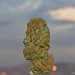 Durban Poison over koreatown in hollyweeed - medicinal marijuana - prop215 sb420