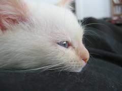 045 (vitreoushumour) Tags: baby white cute cat kitten feline snowy blueeyes kitty fluffy kitteh awww housecat babykitty whitekitten felidae fluffykitten prisoner42837