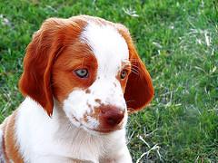 jack dog (DiEgo bErrA) Tags: dog puppy eyes cara mascot perro ojos cachorro expensive mirada bloodhound mascota snout breton cautious hocico sabueso vosplusbellesphotos