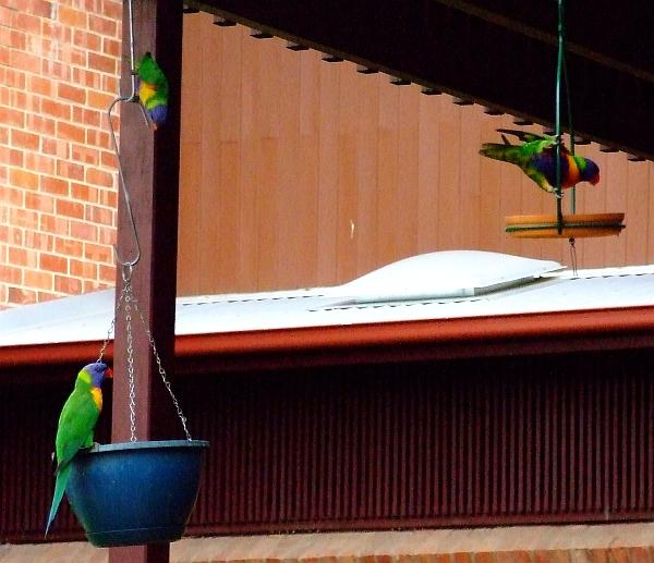 acrobatic parrots