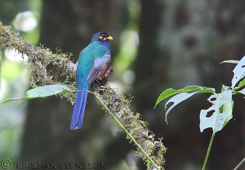 Bar-tailed Trogon (Apaloderma vittatum) by macronyx.