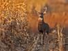 Autumn Buck (Random Images from The Heartland) Tags: chris southdakota searchthebest deer bailey prairie buck whitetaileddeer chrisbailey specanimal autumnbuck southdakotawhitetaildeer southdakotawhitetail chrisbaileyimages