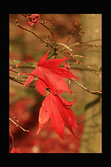 when authumn leaves are falling.. (dewollewei) Tags: friends leaves herfst azalea naturesfinest authumn