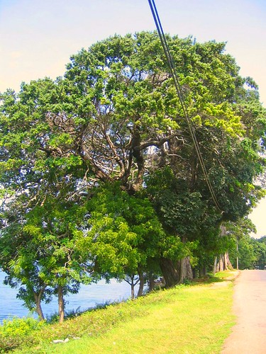 The big old tree...