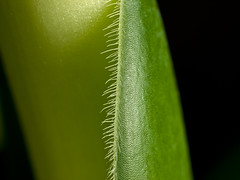 (cbmd) Tags: macro leaf 35mmmacro35 haemanthusalbiflos elefantenohr exif:exposure_bias=0ev exif:iso_speed=100 exif:focal_length=35mm exif:aperture=f10 zukiodigital elephantstongue camera:make=olympusimagingcorp camera:model=e510 exif:lens=35mmf35 exif:shutter_speed=1200sec exif:exposure_program=manual exif:metering_mode=pattern exif:flash=noflash file:name=c9274810 file:uuid=20aeb1f4590449c5a3a8acec84af112e
