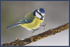 And......... Touch Down! (hvhe1) Tags: winter holland bird nature animal wildlife interestingness1 pimpelmees naturesfinest tonden specanimal animalkingdomelite hvhe1 hennievanheerden avianexcellence