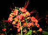 Flamboyanzinho little-flamboyant (Caesalpinia Pulcherrima). Sao Paulo Brasil.  A Central-America native arbustive-tree (mauroguanandi) Tags: leguminosae caesalpinia caesalpiniapulcherrima flamboyanzinho colorphotoaward caesalpinoideae mimamorflores litlleflamboyant
