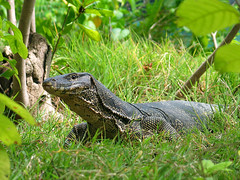 Monitor lizard (papaija2008) Tags: travel nature canon thailand island asia south powershot monitor east lizard hong g3 koh animalplanet krabi canonpowershotg3 thaimaa animaladdiction naturewatcher varaani earthasia placesyouvisit totallythailand