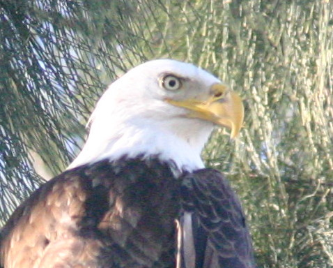 Bald Eagle Head 20081129