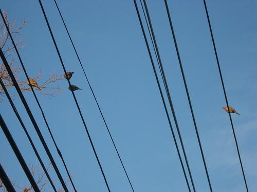 Brown Doves