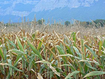 champs de maïs.jpg