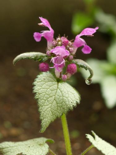 lamium - flower