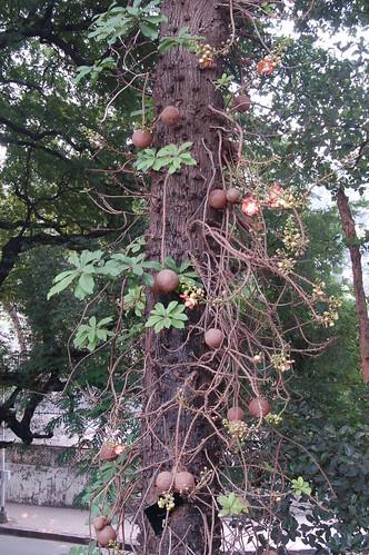 An einem Baum wachsen kanonenkugelförmige Früchte. An einigen Ranken hängen die Blüten, die dem indischen Gott Shiva geweiht sind.