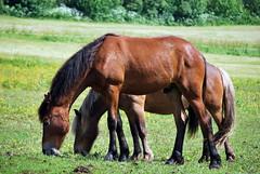 Hester -|- Brown Horses (erlingsi) Tags: summer horse norway norge europe sommer noruega oc pferd volda hester noorwegen noreg erlingsivertsen beiting rneset