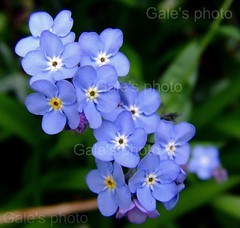 Happy Mothers Day.... (Gale's Photographs) Tags: blue flower 5600 forgetmenot mothersday excell