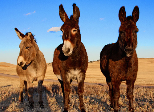 Donkeys Three (Tres burros)