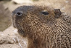 Yo, dudette, where's the food? (seeit_snapit) Tags: cute animal rodent texas waco capybara cameronparkzoo anawesomeshot flickrgolfclub cappybarra yodudettewheresthefood canweighupto150lbs