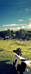 Resting (Luis Montemayor) Tags: trees sky color verde green field grass clouds mexico cow arboles pasto cielo nubes campo resting vaca realdelmonte descanando