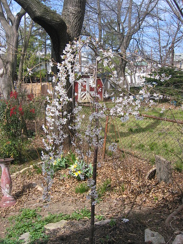 weeping cherry tree pictures. This mini weeping cherry tree