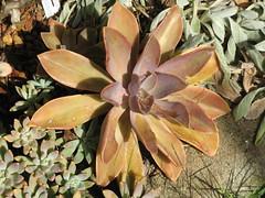 Echeveria 'Huth's Pink' (cskk) Tags: pink crassulaceae echeveria graptoveria huthspink scculent vankeppel