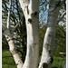 春天的白桦 - Birch in Spring