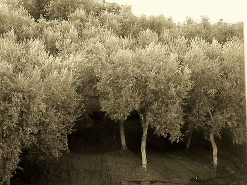 Olive trees by John Anthony Frederick
