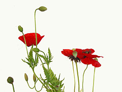 "Perhaps the ""best of the year"" 2008? (Julie70) Tags: red london home rouge poppy mostinteresting inside myfavorites coquelicot excellence piros rosu someofmyfavorites mesfavoris photojuliekertesz mypreferred 100mostinteresting blackheathhome chezmoilondres 120of50000"