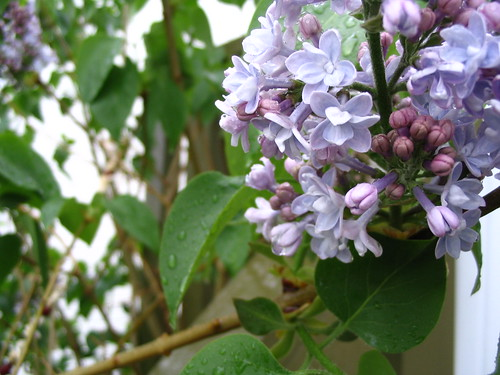 Lilacs are Blooming