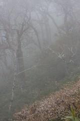 霧に浮かび上がるサクラ