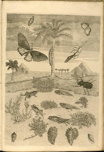 Metamorphosibus Insectorum Surinamensium (p154)