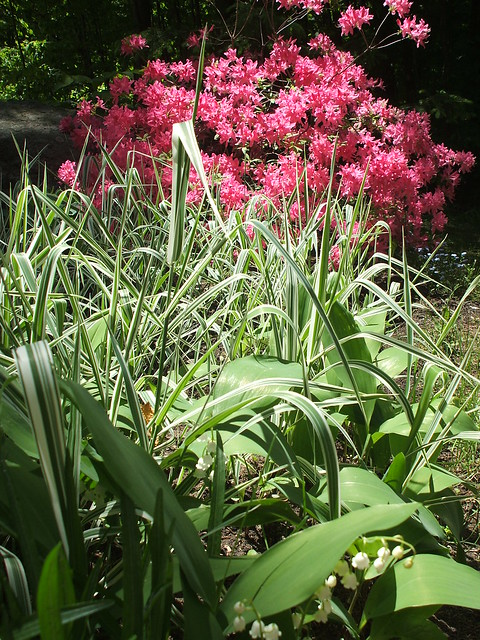 azaleas and lilies of the valley. part of my 'country garden'. not really