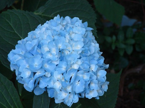 Endless Summer hydrangea bloom