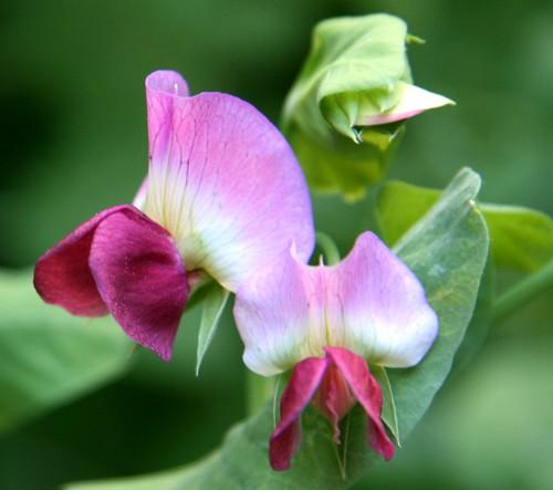 pea flowers 7