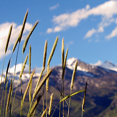 beauty near and far... (janoid) Tags: mountains utah bravo wheat alpine naturesfinest xoxoxox xoxoxoxoxoxoxo theweatherwasperfect wheatthingies janslightstyle janalicious janoidmagic tttttttttttttttttttt wheatmagic takenfromthehillonthesideofmyhouselastweek