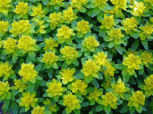 Euphorbia (Yellow cushion Spurge) - photo courtesy Flickr user njchow82