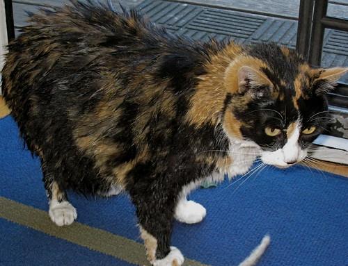 Zoe Godzilla, all wet, post bath
