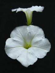 Suspended Animation? (njk1951) Tags: white black suspended petunias onblack bej macroflowerlovers awesomeblossoms