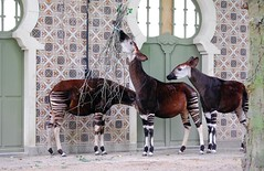 Okapi's (sillie_R) Tags: zoo antwerpen okapi