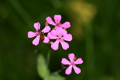 IMG_4597 (Yumi) Tags: pink flower macro beatle