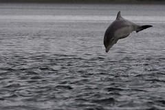 BND Tursiops truncatus 17 Jul-08-106 (tim stenton www.TimtheWhale.com) Tags: scotland dolphin blackisle bnd morayfirth bottlenosedolphin tursiopstruncatus chanonrypoint