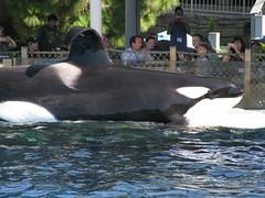 Shamu (IMG_0336) (SWID3RSKI) Tags: california animal mammal sandiego whale orca seaworld 2008 shamu killerwhale orcinusorca