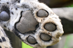 Leopard's paw