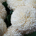 Photo: chrysanthemum sp.