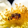Bee at work (cienne45) Tags: carlonatale cienne45 natale italy flower insects insetti nature artedellafoto friends explore exploreexset explore1336