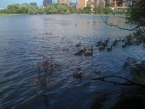 Charles River Ducks